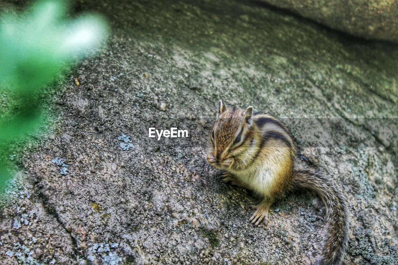 High angle view of chipmunk on rock