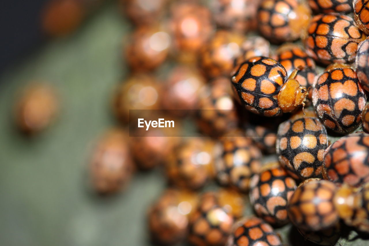 close-up, animal, no people, animal themes, animal wildlife, selective focus, focus on foreground, nature, day, food, food and drink, beauty in nature, group of animals, pattern, animals in the wild, natural pattern, outdoors, shell, animal markings, large group of objects