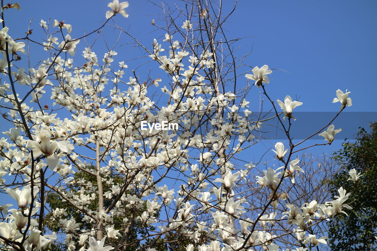 flower, branch, tree, beauty in nature, growth, blossom, nature, fragility, low angle view, springtime, white color, magnolia, no people, apple blossom, blue, twig, freshness, petal, day, outdoors, blooming, clear sky, flower head, sky, close-up