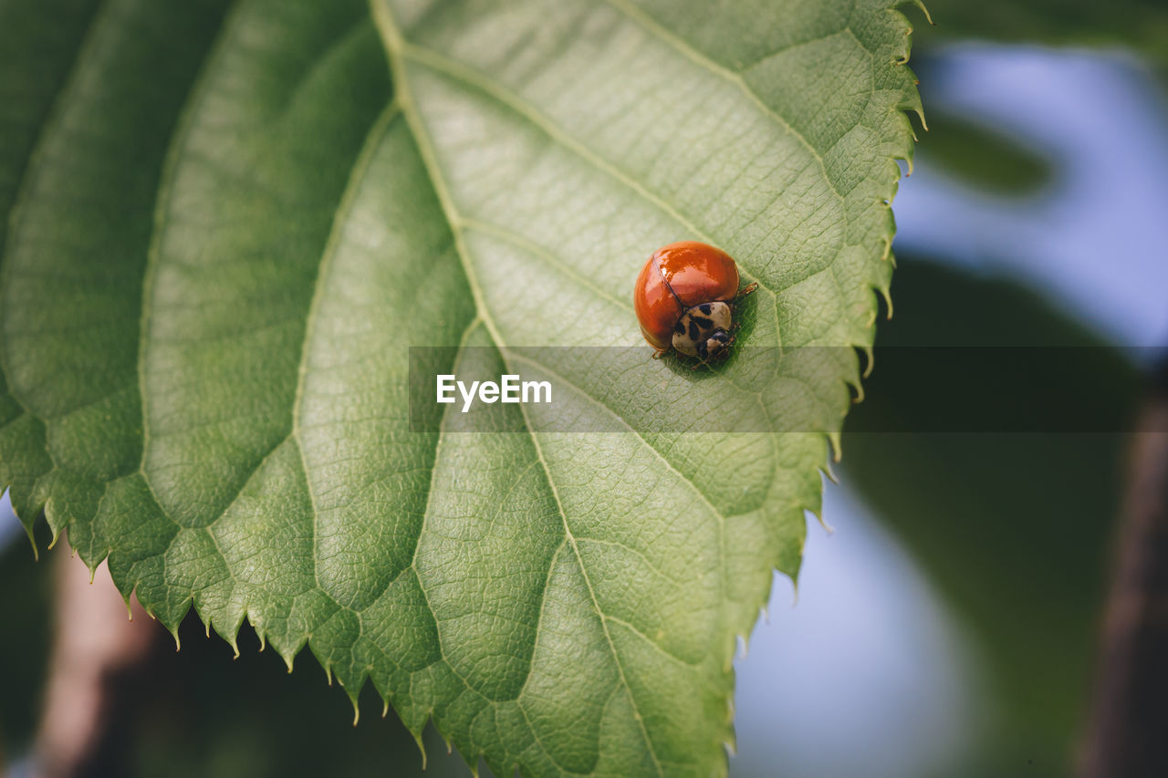 invertebrate, leaf, animal wildlife, plant part, insect, animals in the wild, one animal, ladybug, beetle, close-up, animal themes, animal, focus on foreground, green color, plant, day, no people, nature, outdoors, red