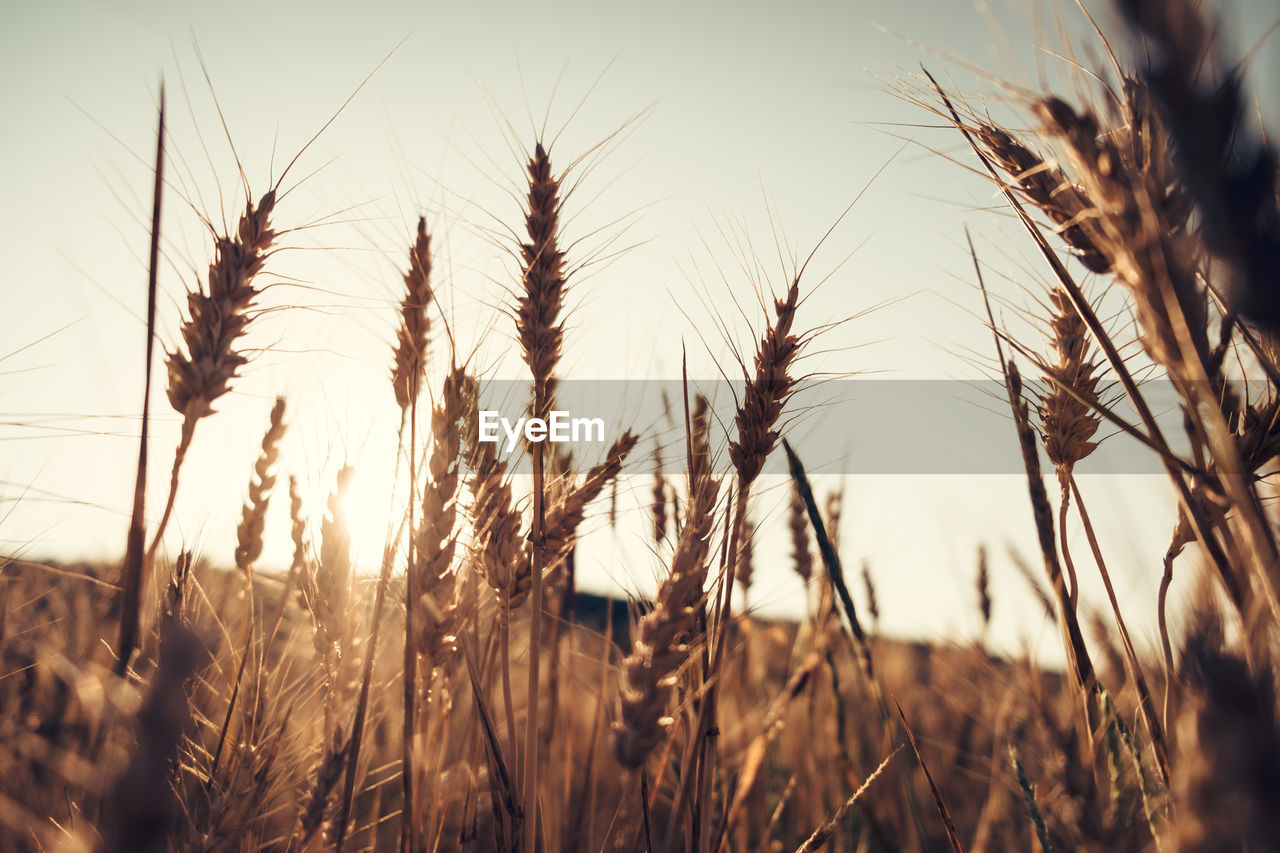 Close-Up Of Wheat Plants On Field Against Clear Sky