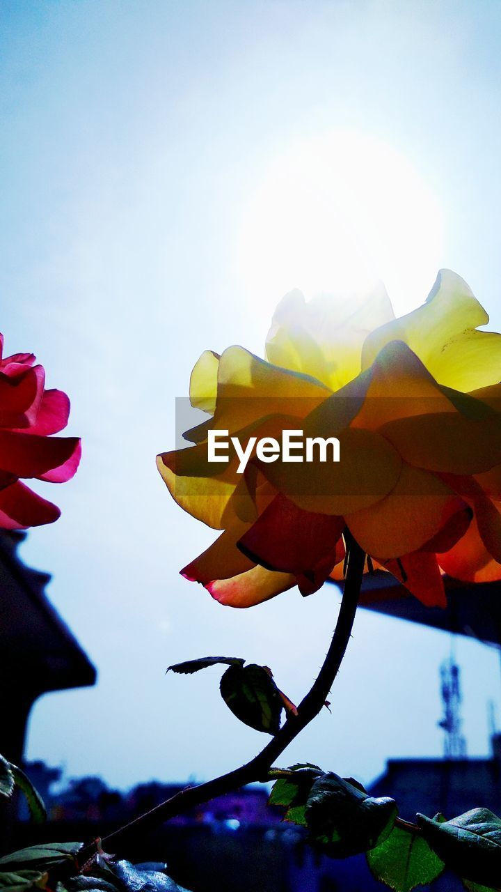 flower, beauty in nature, petal, nature, fragility, freshness, growth, low angle view, sky, leaf, plant, no people, flower head, outdoors, close-up, blooming, day, sunlight