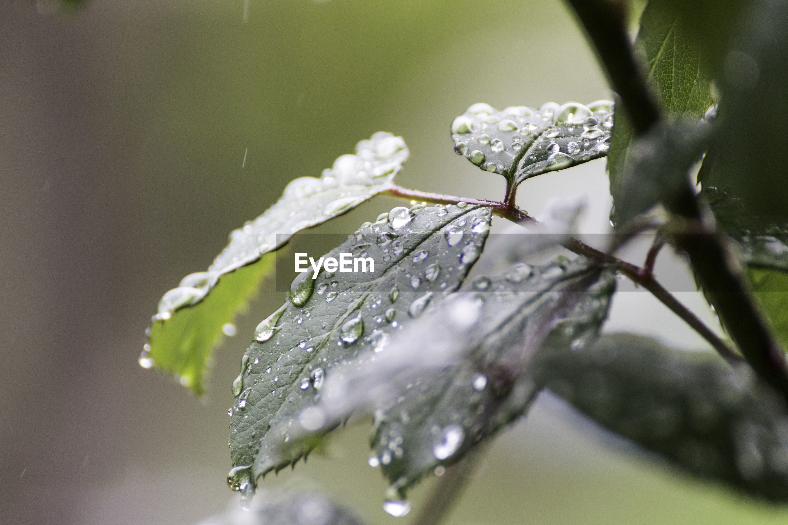 CLOSE-UP OF RAINDROPS ON PLANT LEAVES