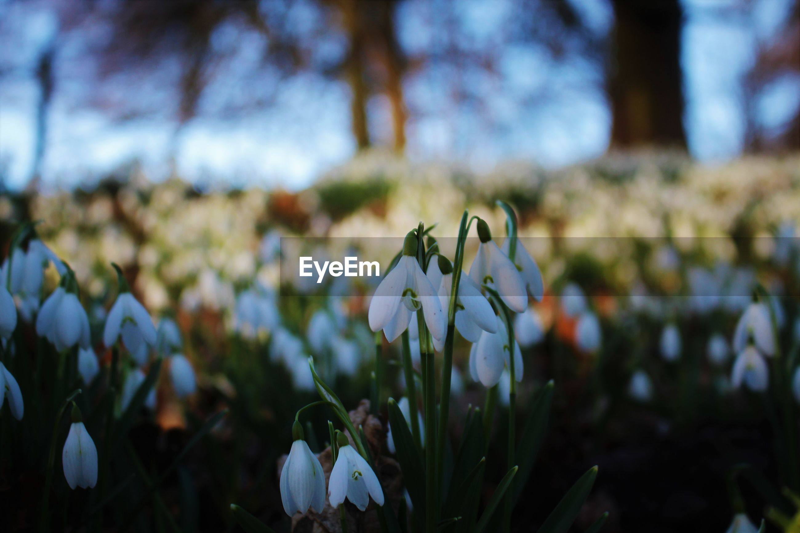 CLOSE-UP OF WHITE CROCUS BLOOMING IN FIELD