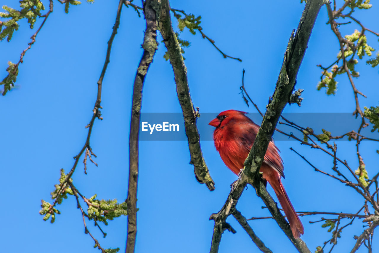 tree, bird, plant, vertebrate, red, animal themes, animal wildlife, branch, animal, low angle view, perching, animals in the wild, nature, blue, sky, one animal, cardinal - bird, no people, day, beauty in nature, outdoors
