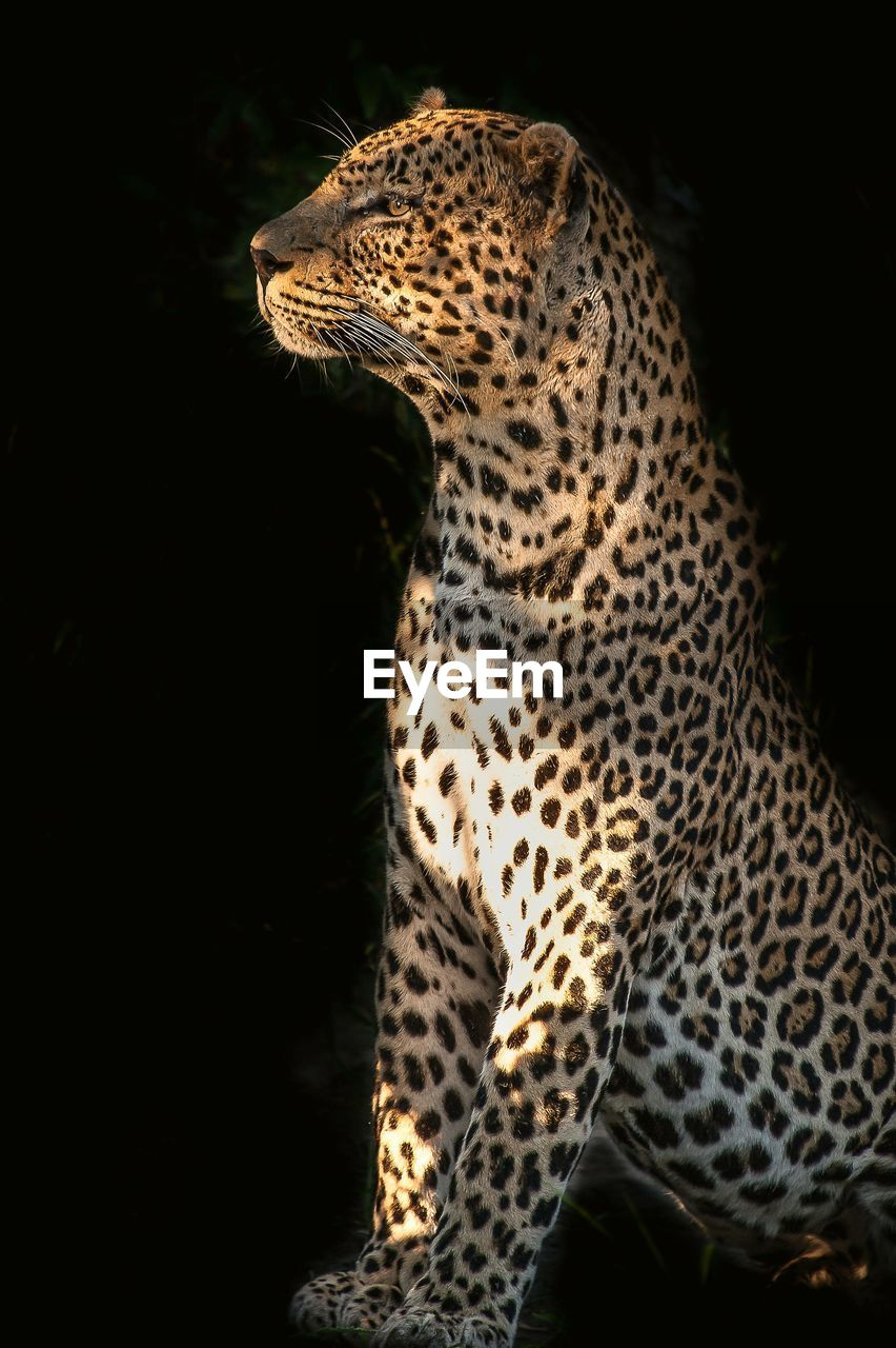 leopard, spotted, one animal, animals in the wild, animal themes, mammal, feline, safari animals, night, no people, black background, nature, outdoors, cheetah