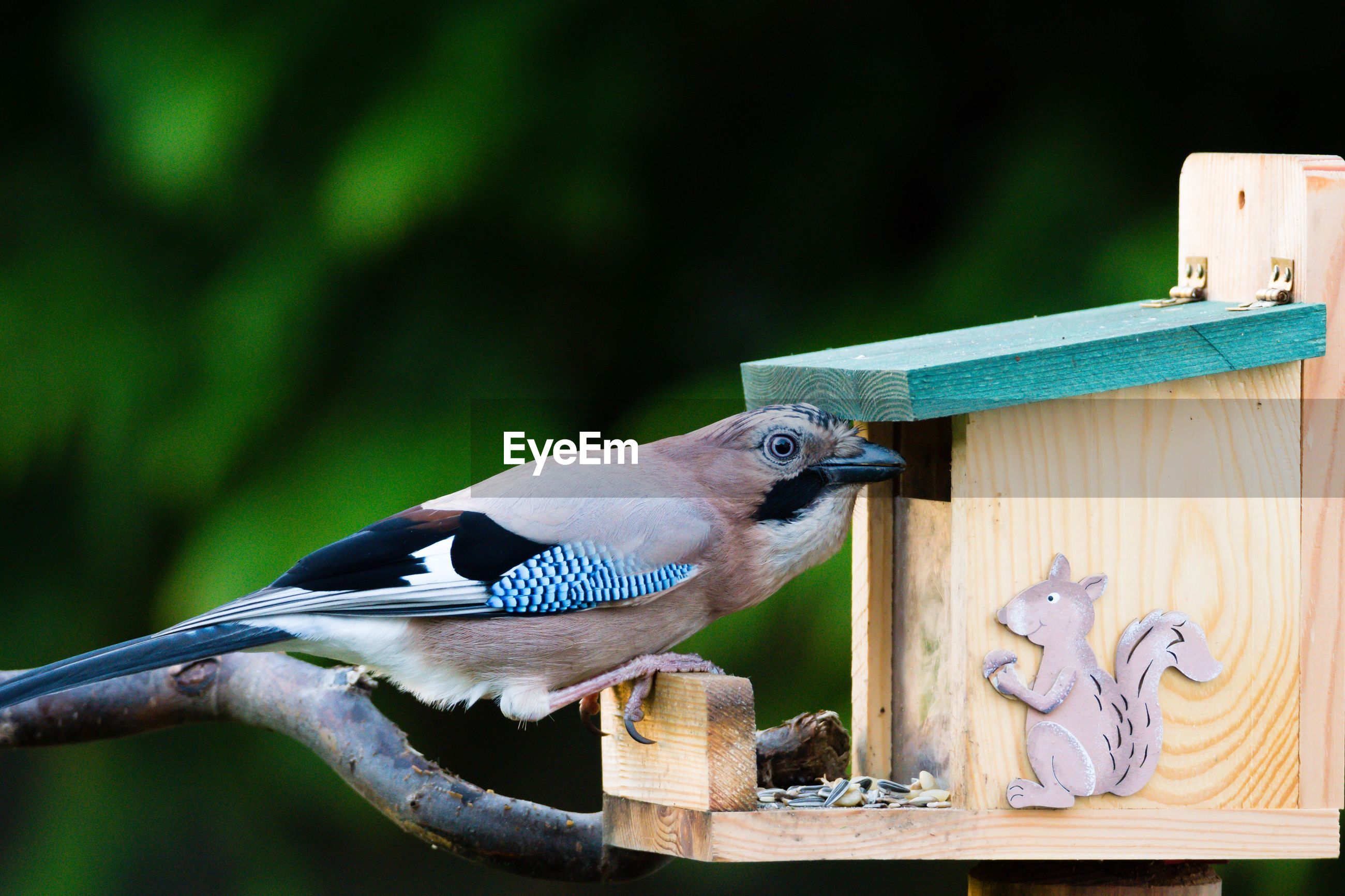 Close-up of eurasian jay perching on birdhouse