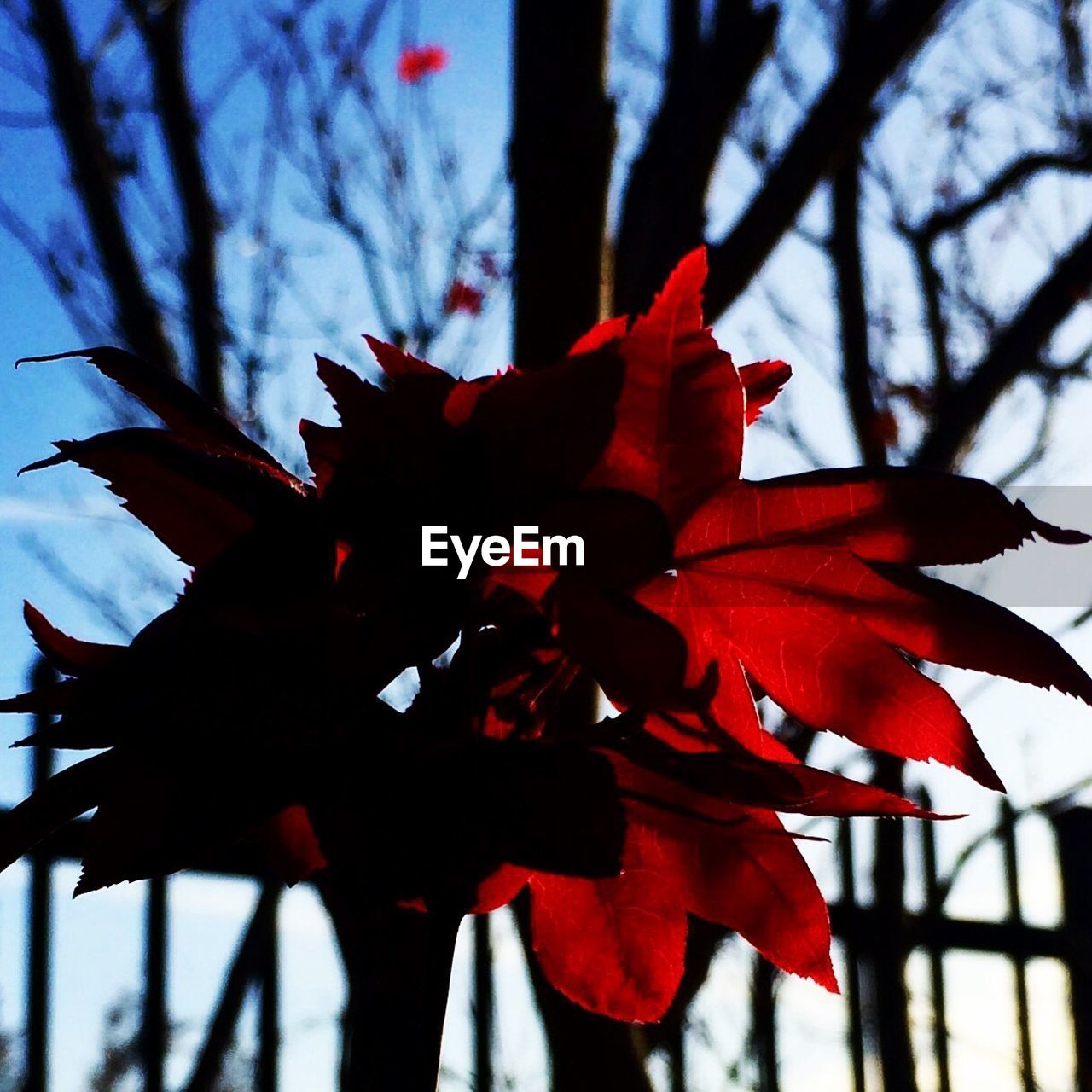 beauty in nature, nature, growth, branch, flower, leaf, autumn, low angle view, red, tree, fragility, no people, outdoors, maple leaf, day, close-up, sky, maple, freshness