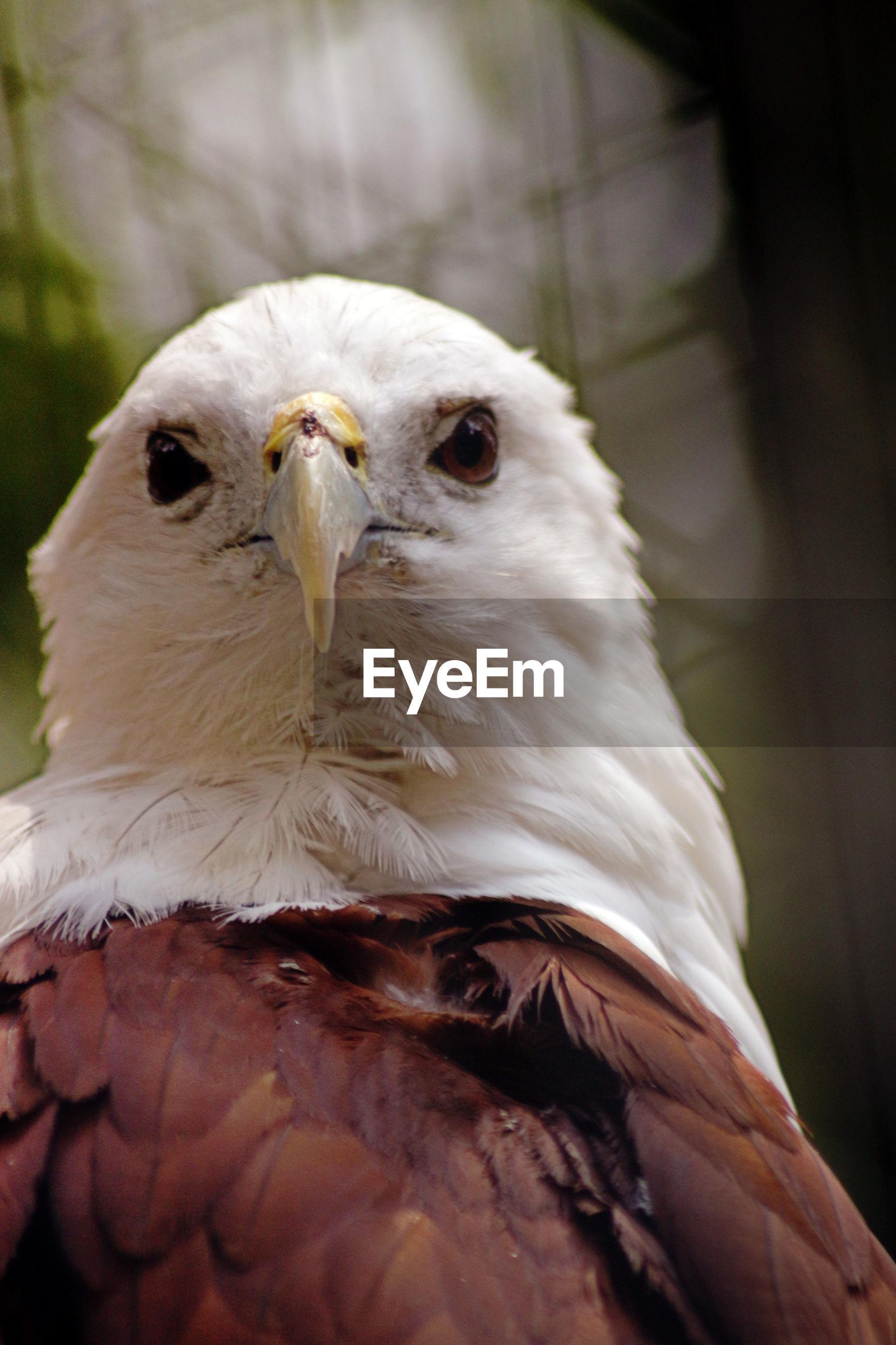 Close-up portrait of bald eagle