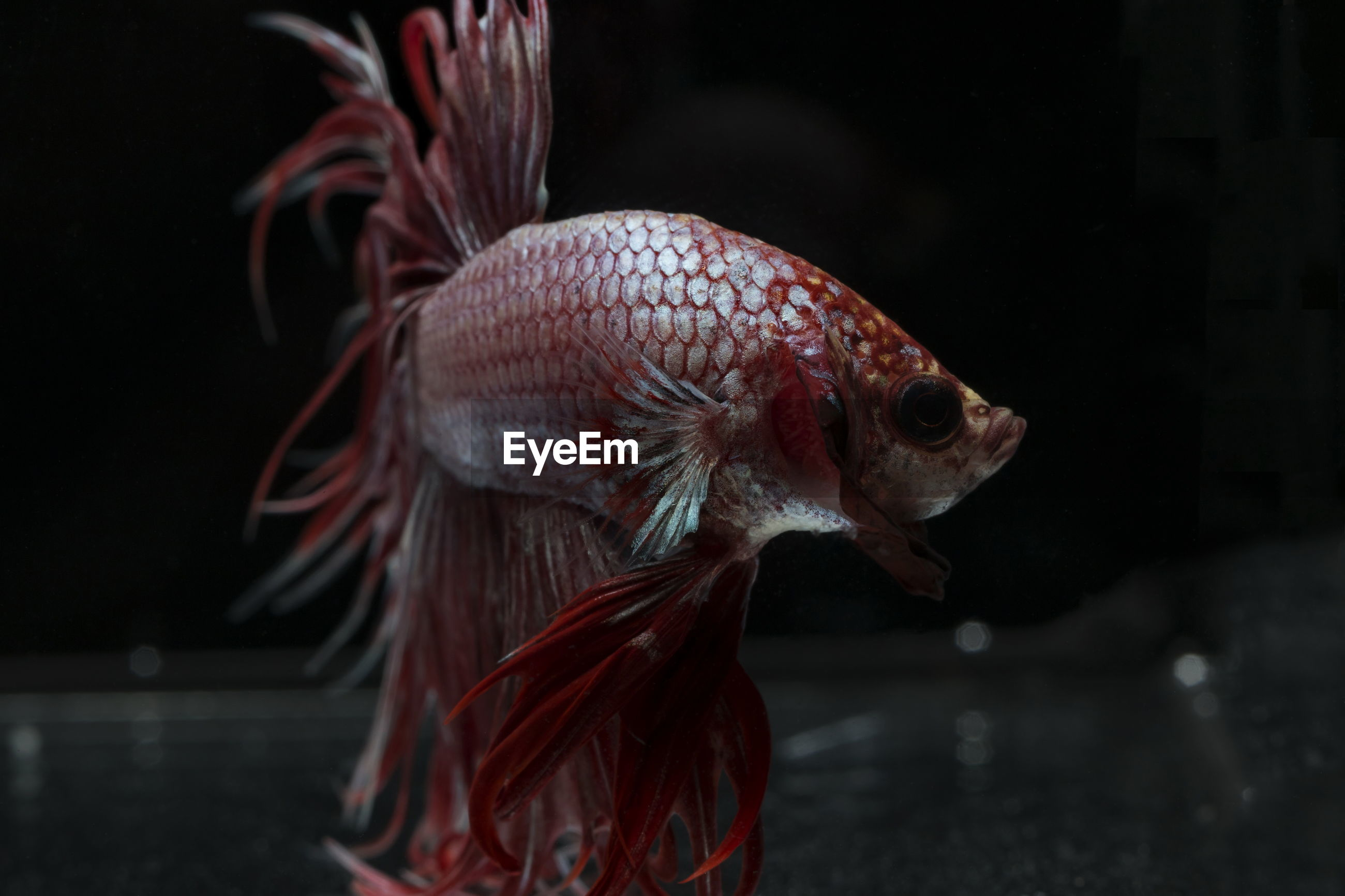 Siamese fighting fish ,crowntail, red fish on a black background, halfmoon betta,