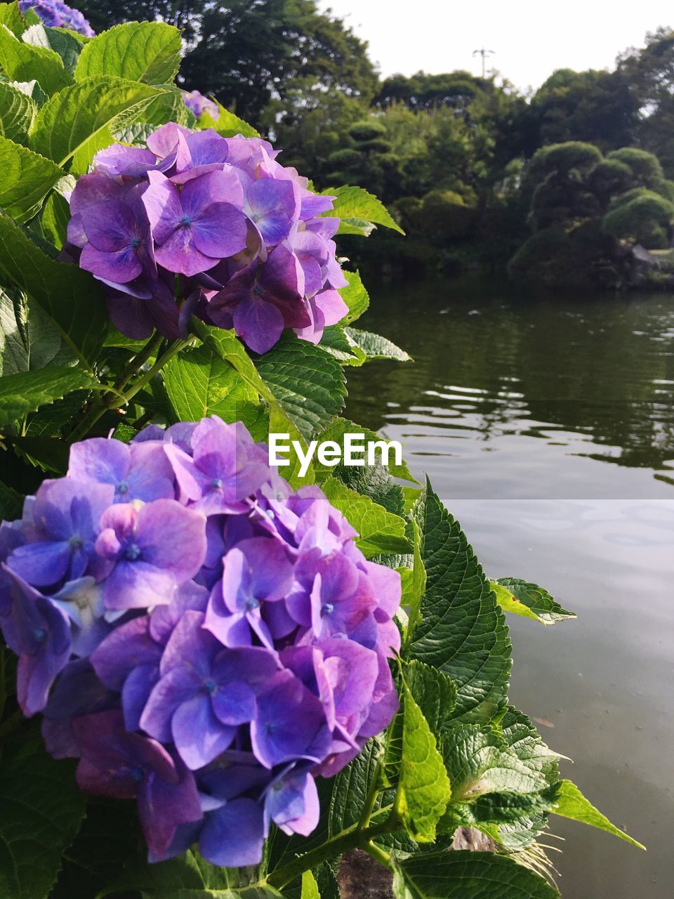 flower, growth, beauty in nature, nature, purple, plant, leaf, outdoors, day, petal, fragility, freshness, no people, green color, water, blooming, close-up, flower head