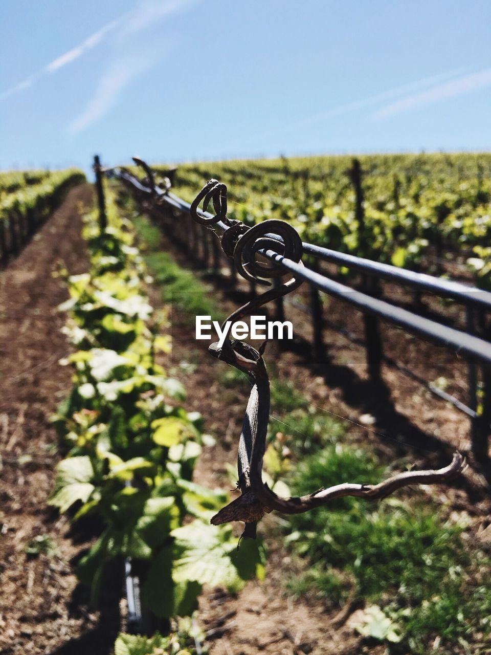Vines growing at vineyard against sky