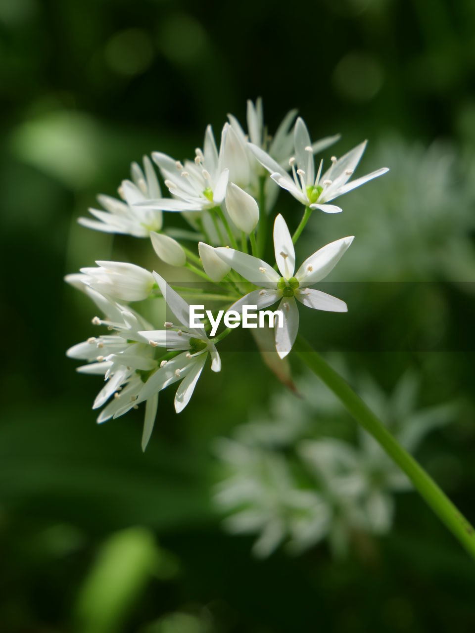 flower, flowering plant, vulnerability, beauty in nature, fragility, plant, freshness, growth, petal, white color, close-up, nature, inflorescence, focus on foreground, no people, flower head, selective focus, green color, day, outdoors
