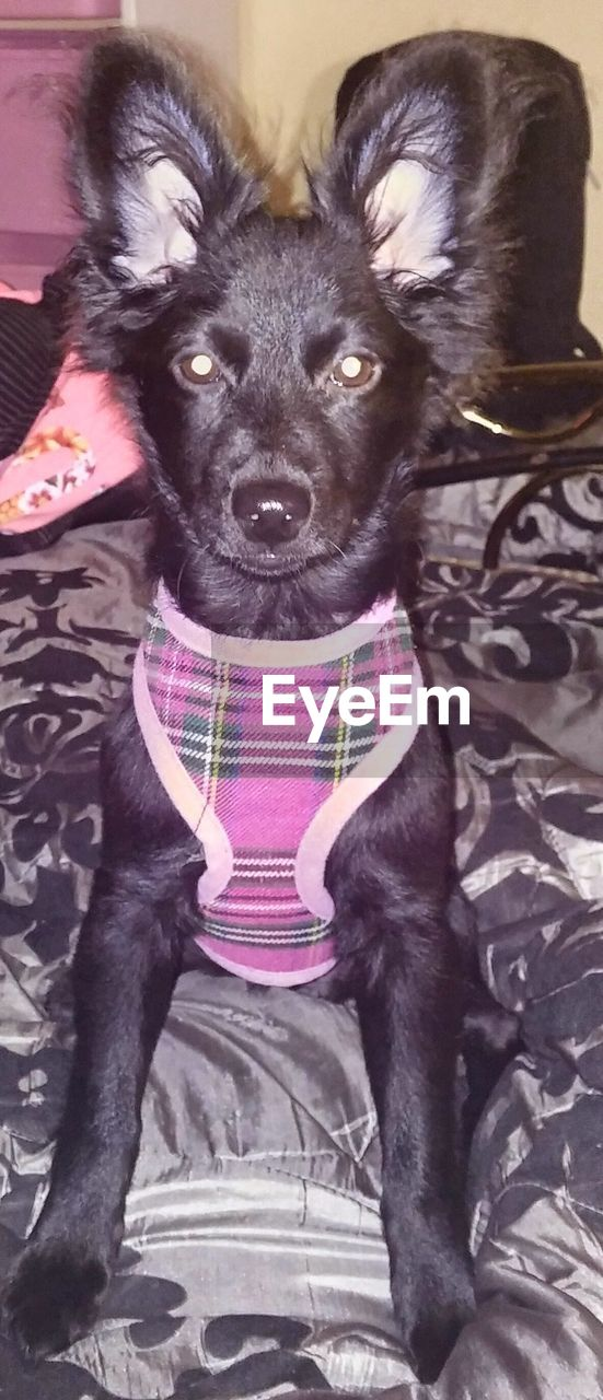 dog, pets, animal themes, domestic animals, one animal, black color, mammal, portrait, no people, sitting, indoors, day, close-up