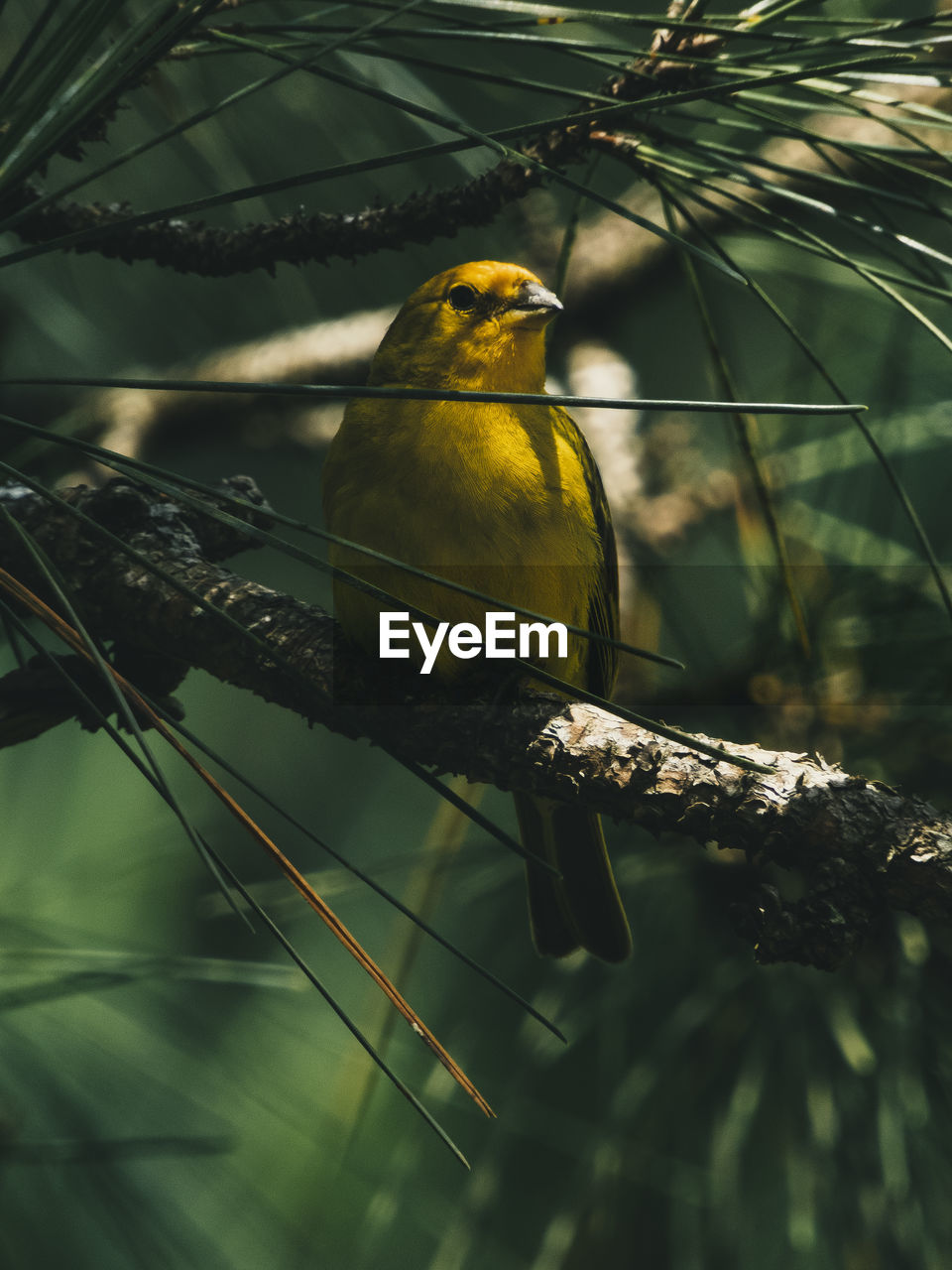 animal themes, animal, vertebrate, animal wildlife, bird, animals in the wild, perching, one animal, branch, nature, tree, focus on foreground, plant, day, no people, outdoors, yellow, close-up, beak, beauty in nature, eagle