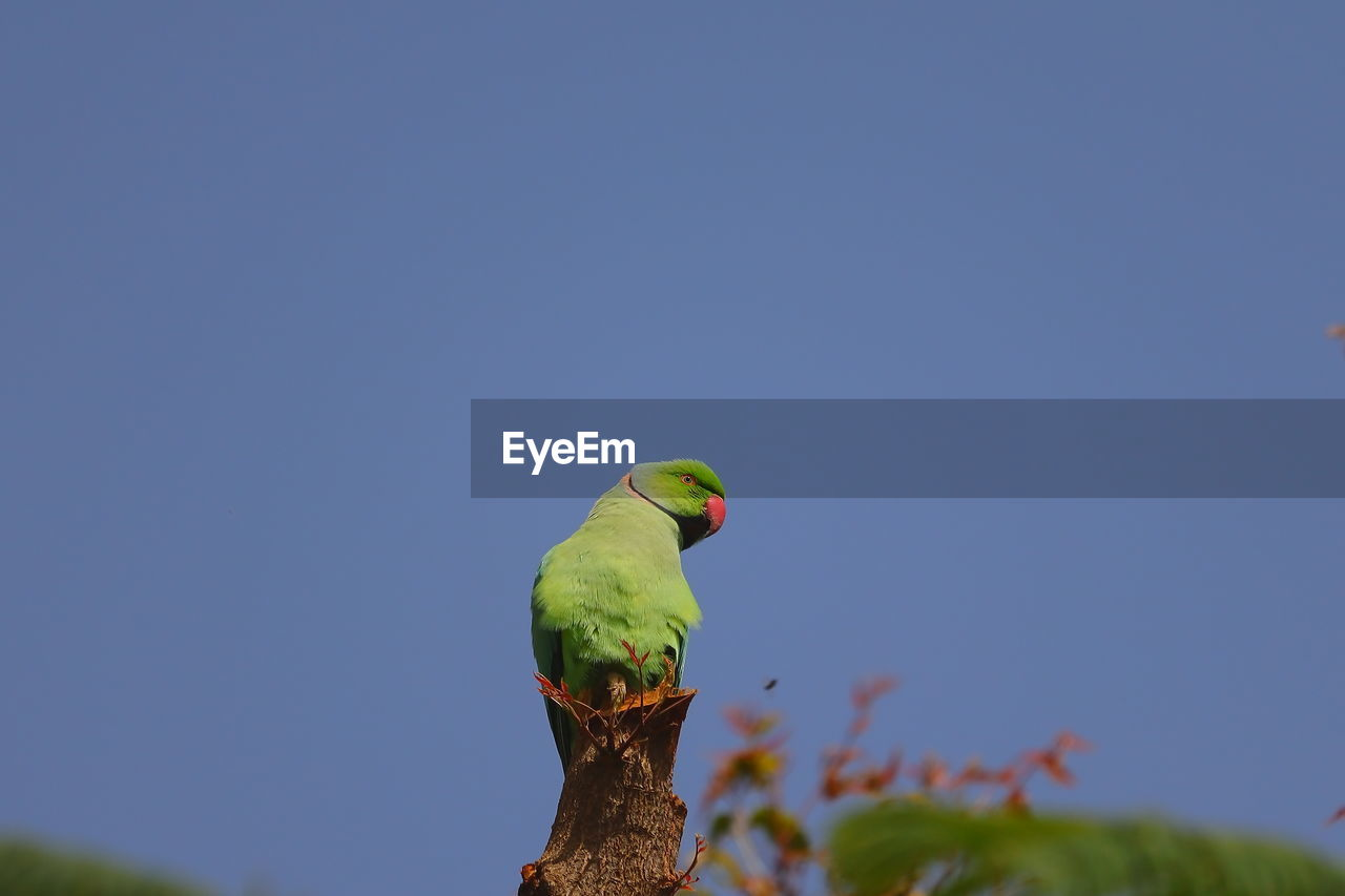 A parrot bird perching on neem tree trunk against blue sky
