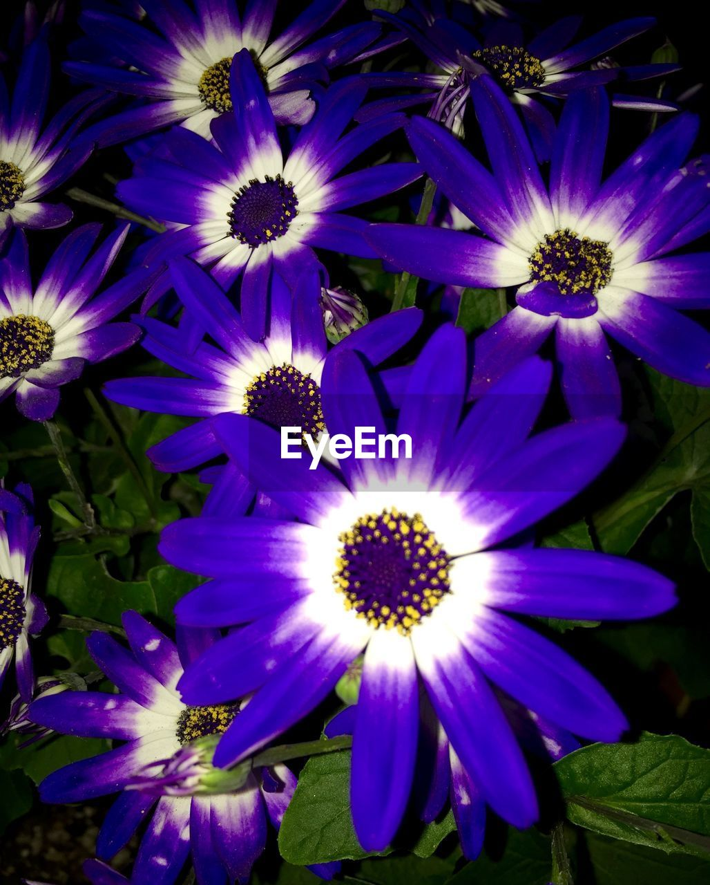 flower, petal, flower head, fragility, nature, beauty in nature, growth, freshness, purple, plant, blooming, osteospermum, no people, outdoors, day, close-up