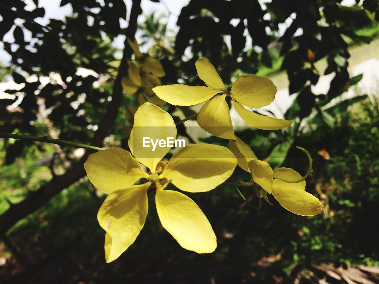 growth, flower, petal, fragility, beauty in nature, day, flower head, freshness, close-up, nature, outdoors, leaf, no people, blooming, periwinkle, frangipani, tree