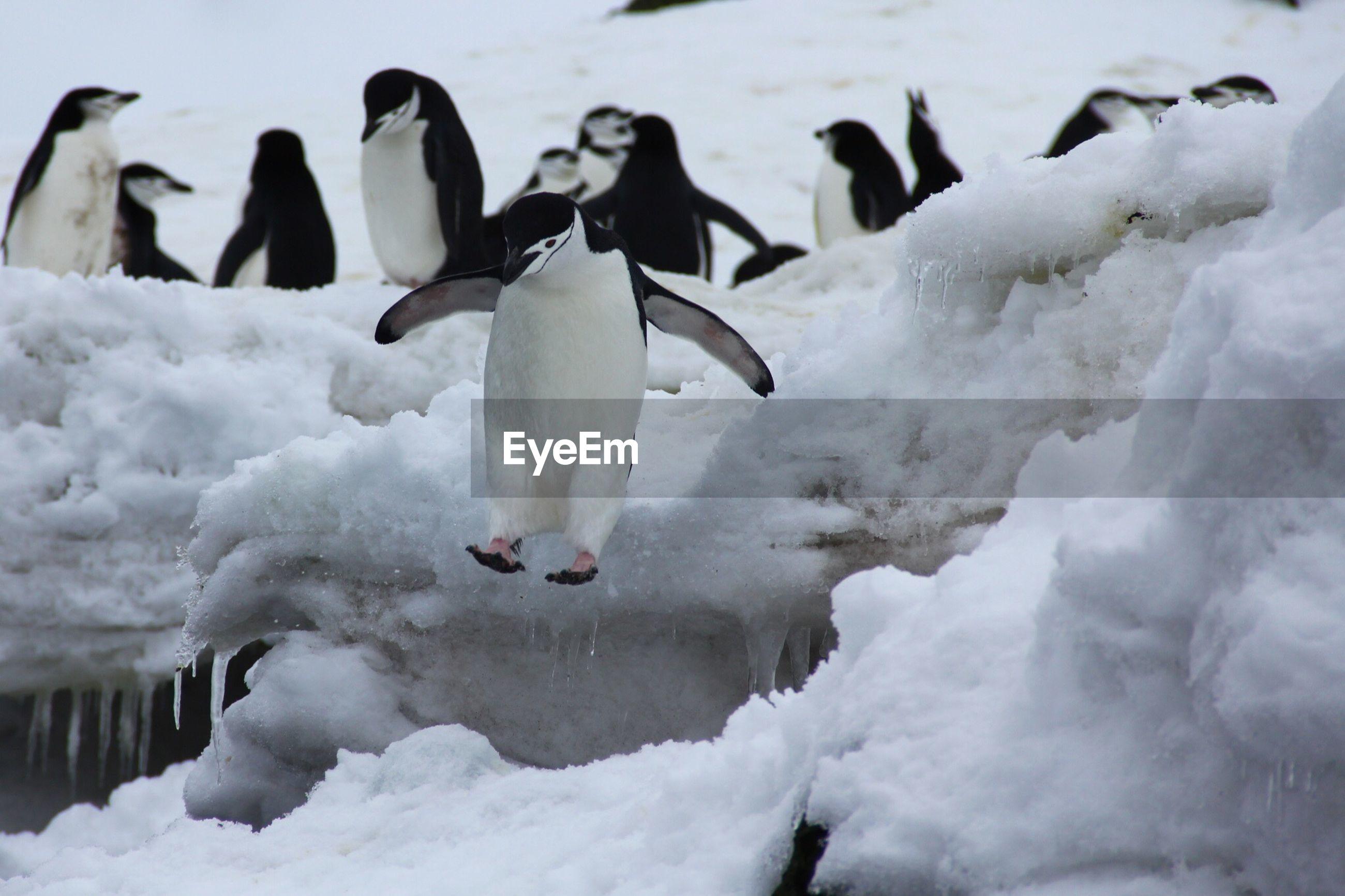 Penguins walking in snow covered landscape
