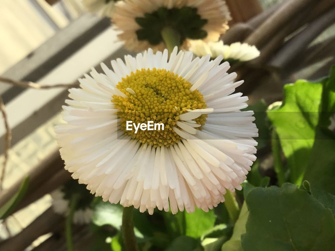 flowering plant, flower, plant, vulnerability, fragility, freshness, flower head, petal, inflorescence, beauty in nature, close-up, growth, pollen, focus on foreground, no people, white color, nature, daisy, day, leaf