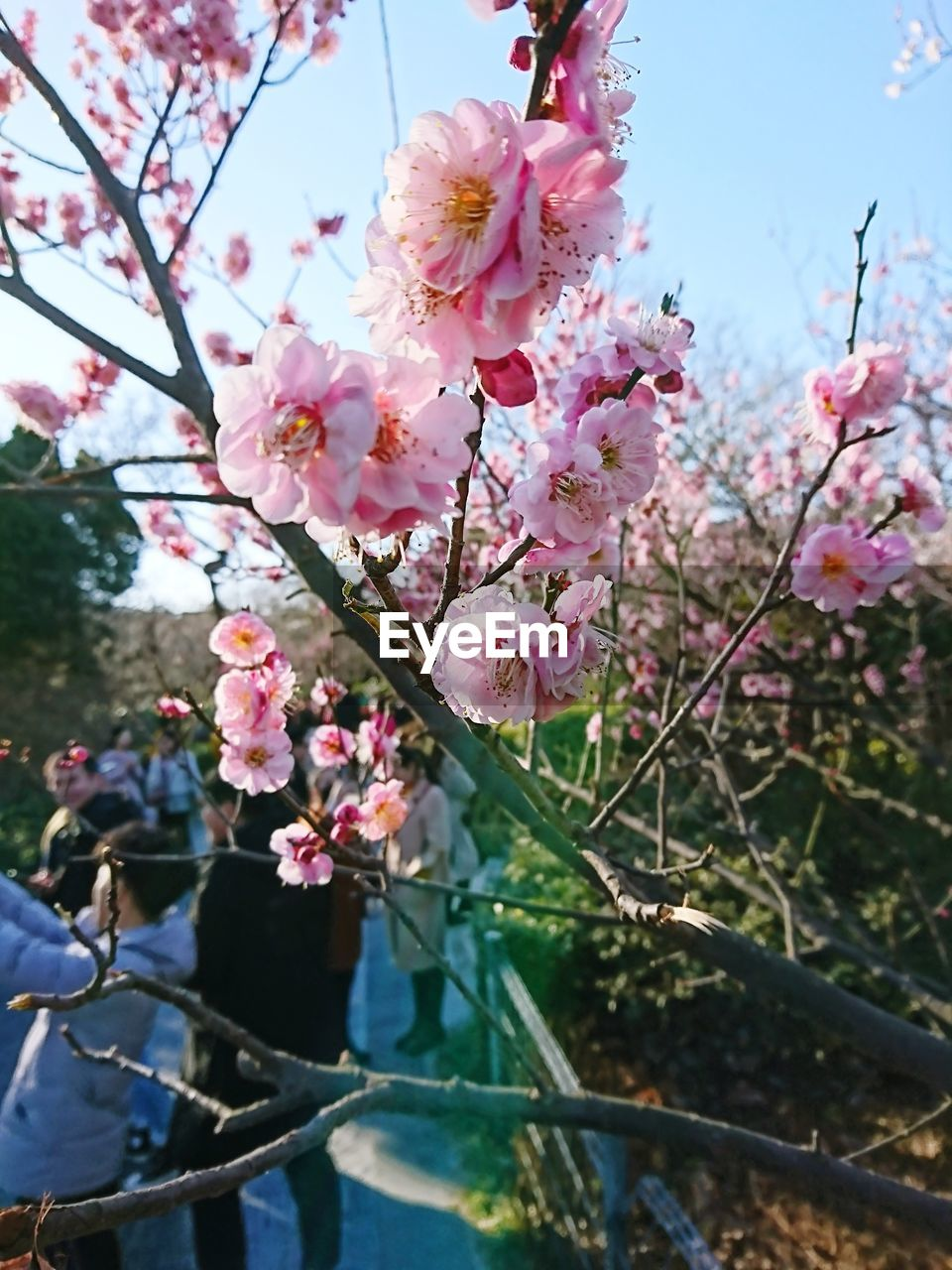 flowering plant, flower, plant, growth, freshness, pink color, fragility, vulnerability, tree, beauty in nature, blossom, branch, nature, day, springtime, close-up, focus on foreground, twig, petal, outdoors, flower head, cherry blossom, cherry tree, spring