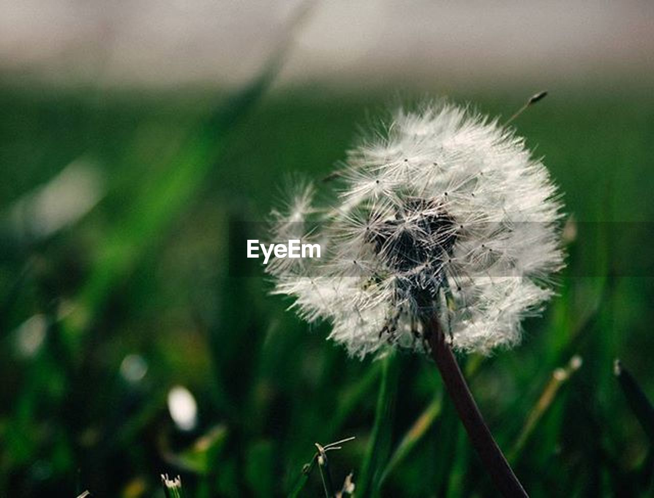 flower, fragility, dandelion, nature, growth, close-up, focus on foreground, softness, freshness, day, beauty in nature, outdoors, plant, no people, flower head