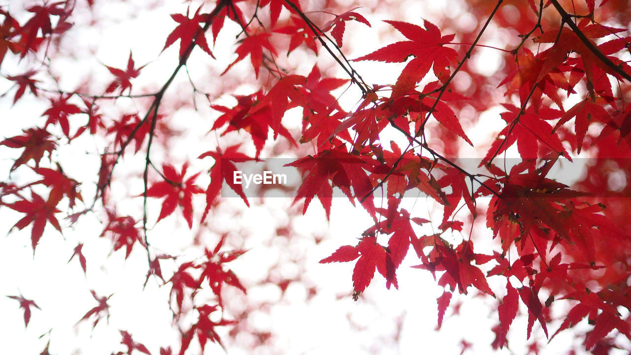 plant, autumn, tree, red, branch, growth, beauty in nature, change, plant part, leaf, low angle view, close-up, no people, nature, day, maple leaf, backgrounds, selective focus, focus on foreground, maple tree, outdoors, leaves, natural condition