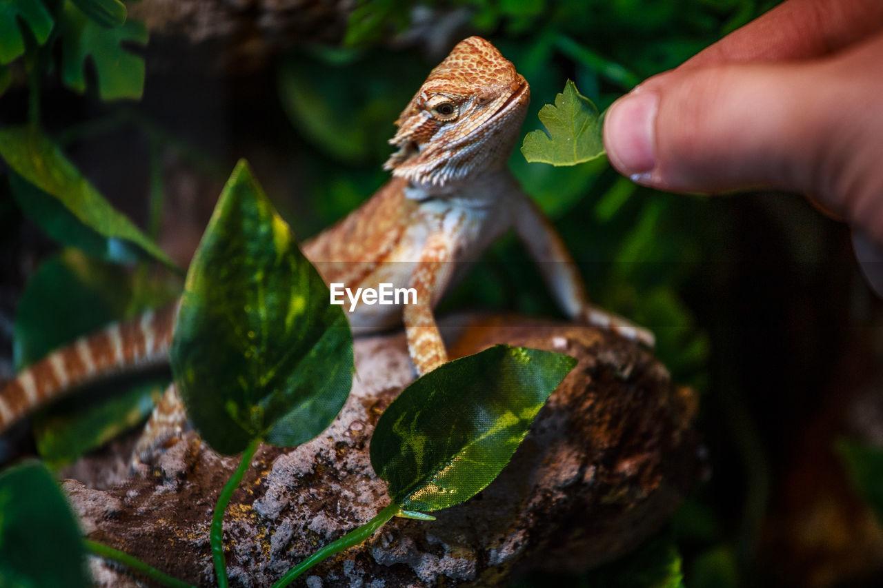 Close-Up Of Hand Feeding Lizard
