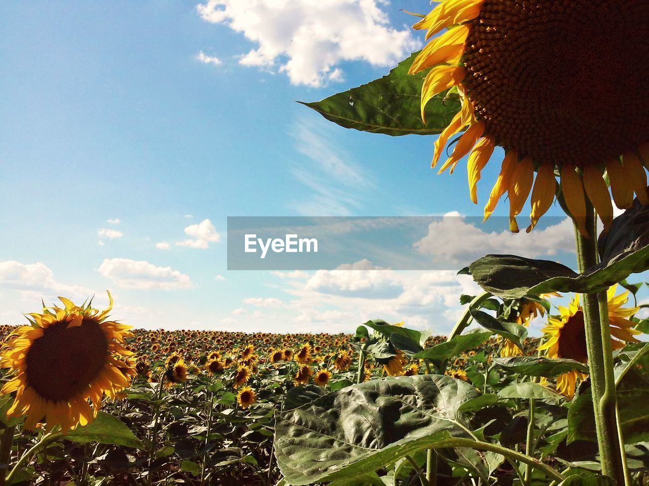 plant, growth, flowering plant, flower, sky, beauty in nature, nature, freshness, sunflower, fragility, vulnerability, flower head, land, field, cloud - sky, leaf, plant part, no people, landscape, inflorescence, pollen, outdoors