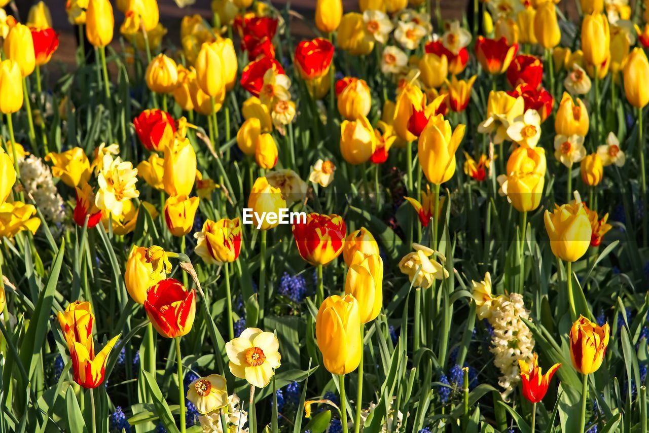 flower, flowering plant, plant, fragility, freshness, vulnerability, beauty in nature, growth, yellow, petal, flower head, inflorescence, land, close-up, field, nature, tulip, no people, full frame, backgrounds, flowerbed, springtime, outdoors