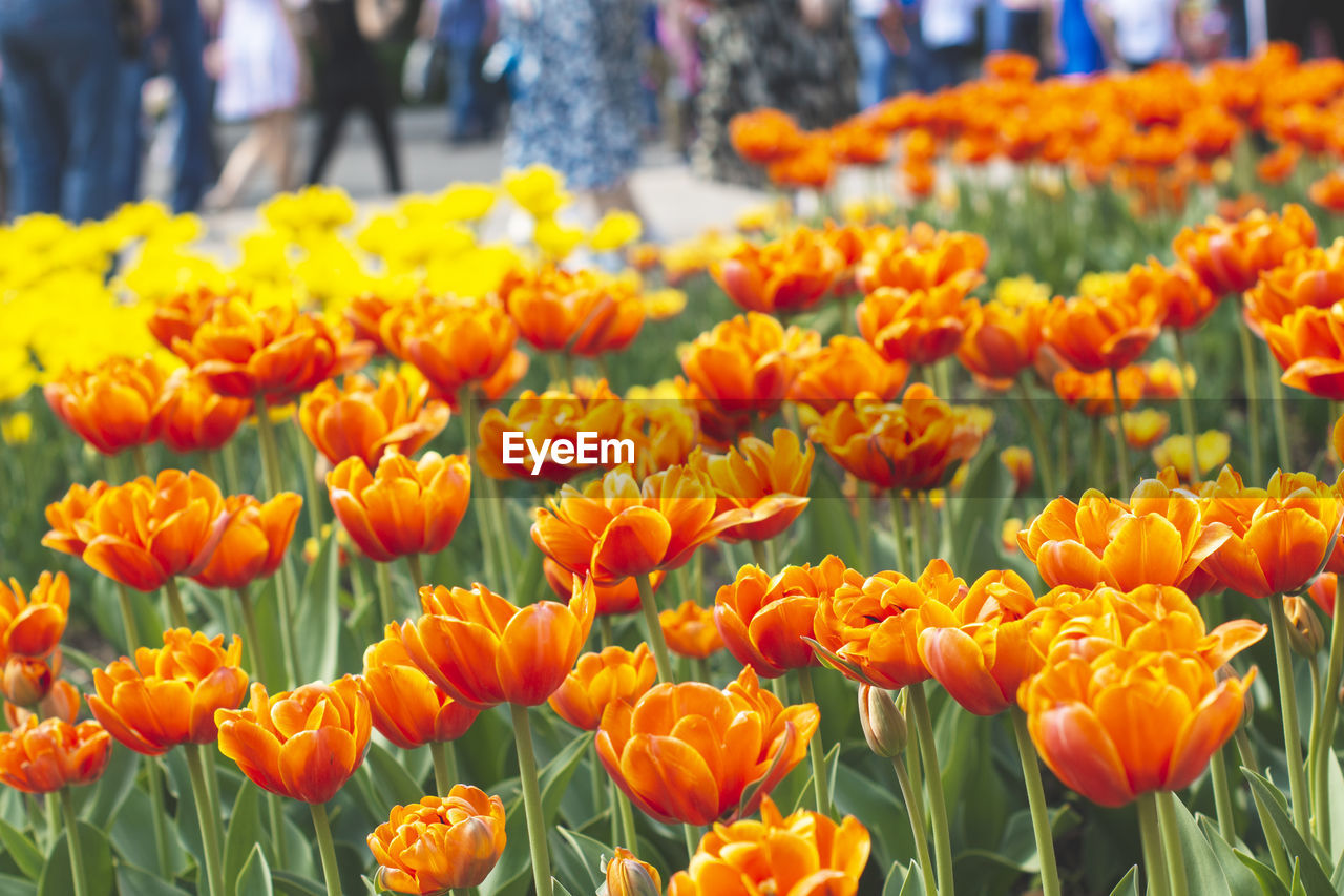 flower, flowering plant, freshness, plant, fragility, vulnerability, beauty in nature, close-up, orange color, yellow, growth, flower head, day, nature, focus on foreground, petal, inflorescence, abundance, tulip, incidental people, outdoors, flowerbed