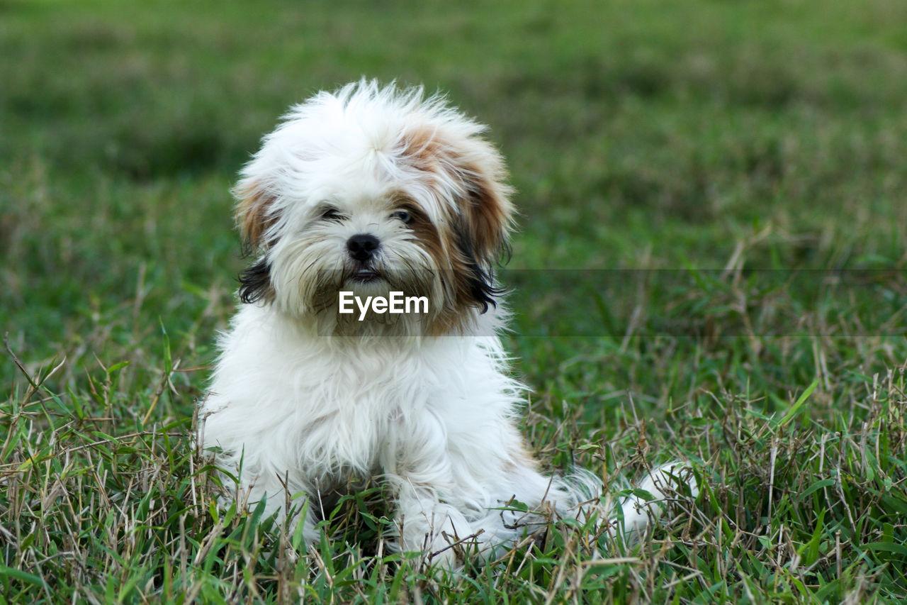 White hairy dog sitting on grass