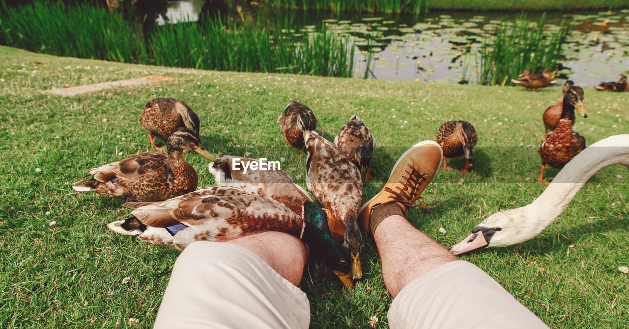 Low Section Of Man Amidst Birds On Grassy Field