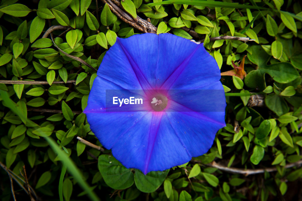 flower, growth, petal, plant, fragility, nature, beauty in nature, flower head, freshness, blue, blooming, outdoors, day, directly above, no people, leaf, close-up, petunia