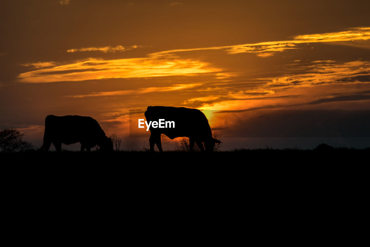 sunset, animal themes, domestic animals, mammal, silhouette, cow, livestock, nature, orange color, sky, cloud - sky, beauty in nature, scenics, landscape, outdoors, no people, one animal, grazing, farm animal, tree, full length, grass, day