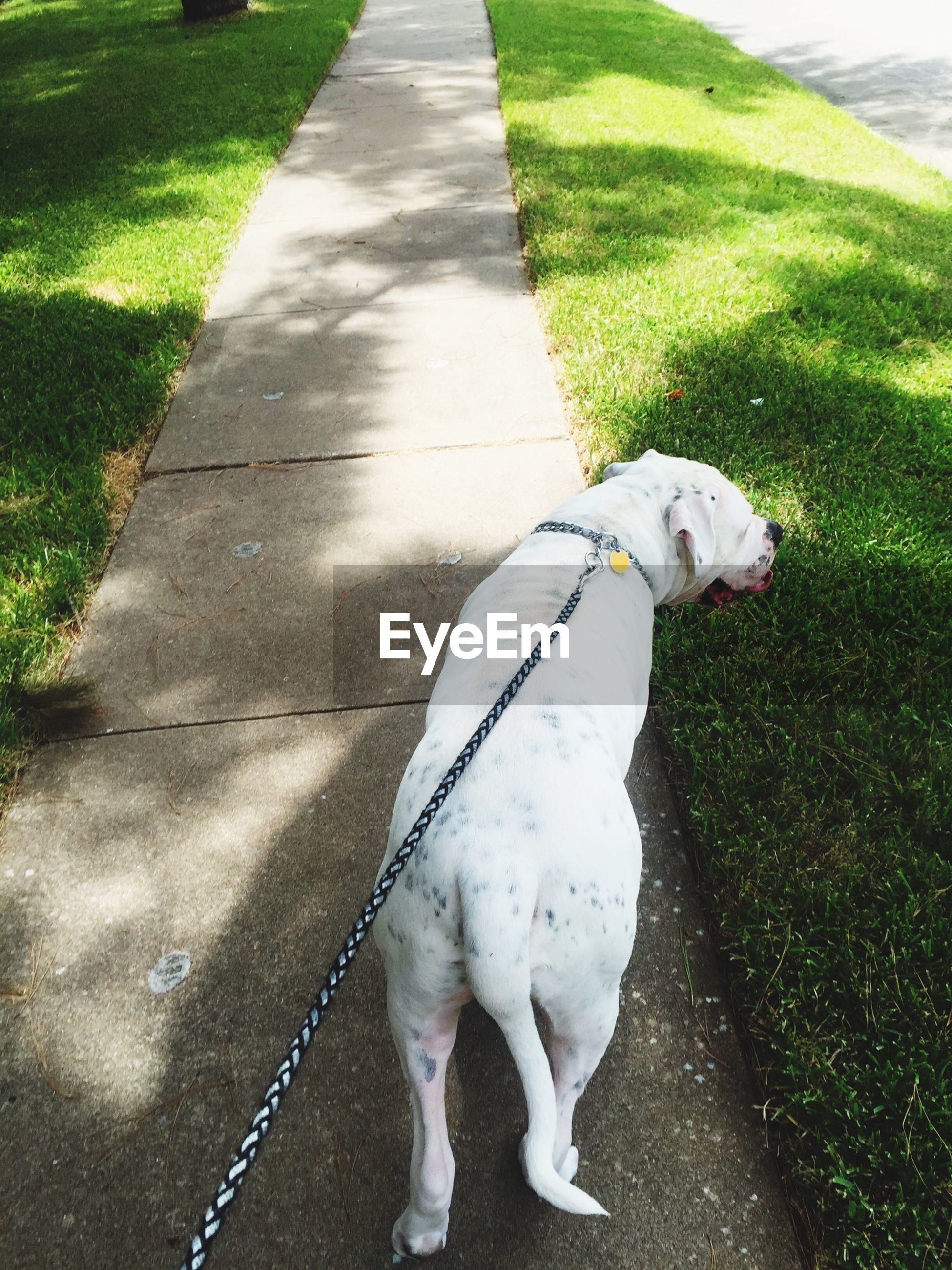 animal themes, domestic animals, one animal, grass, pets, high angle view, mammal, dog, white color, full length, field, shadow, sunlight, grassy, street, outdoors, day, road, footpath, walking
