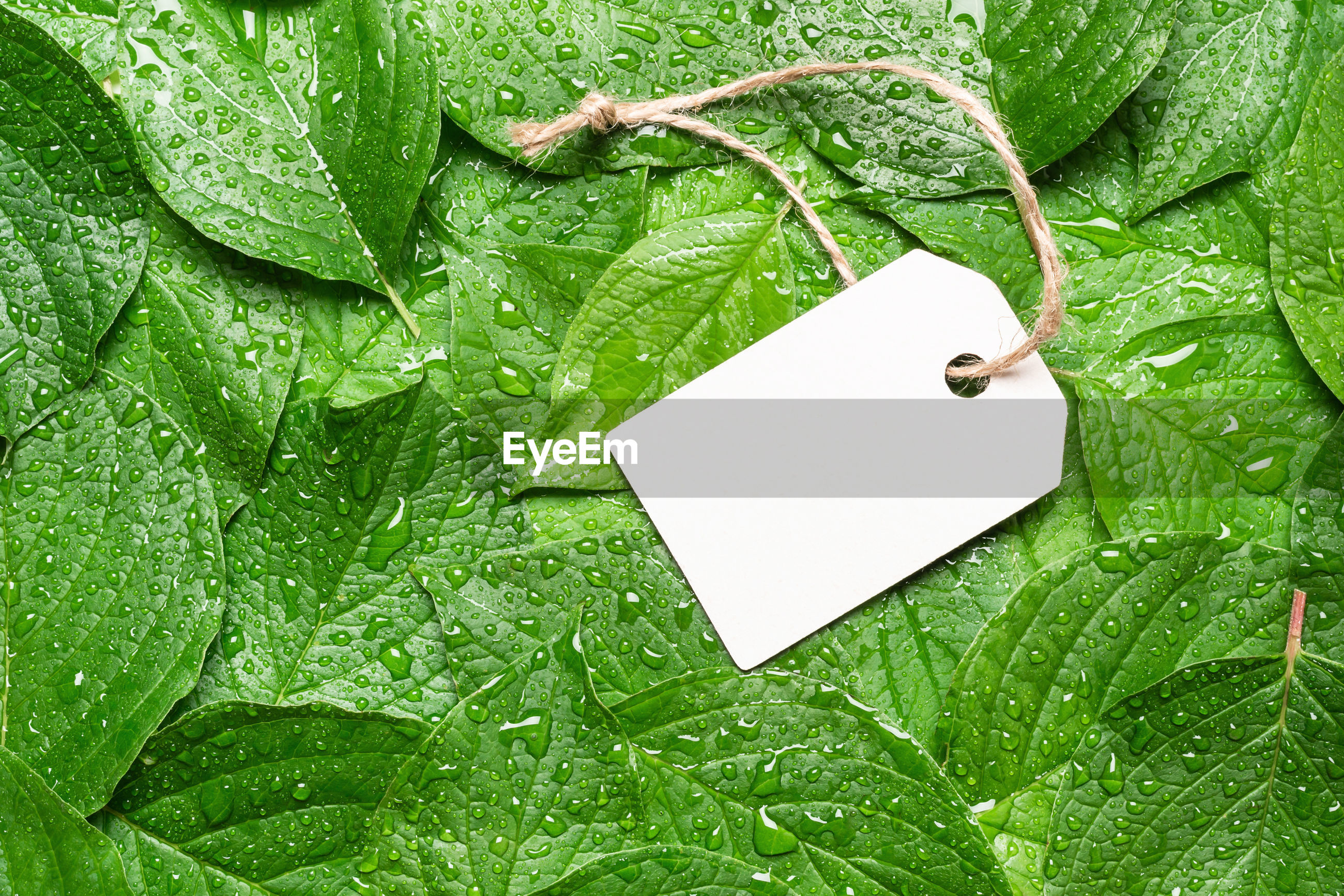 HIGH ANGLE VIEW OF WET PAPER PLANT ON GREEN LEAVES