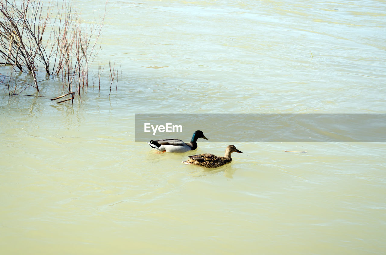 water, bird, vertebrate, animal themes, animals in the wild, group of animals, animal wildlife, animal, lake, waterfront, swimming, duck, no people, poultry, nature, two animals, day, water bird, beauty in nature, floating on water, animal family