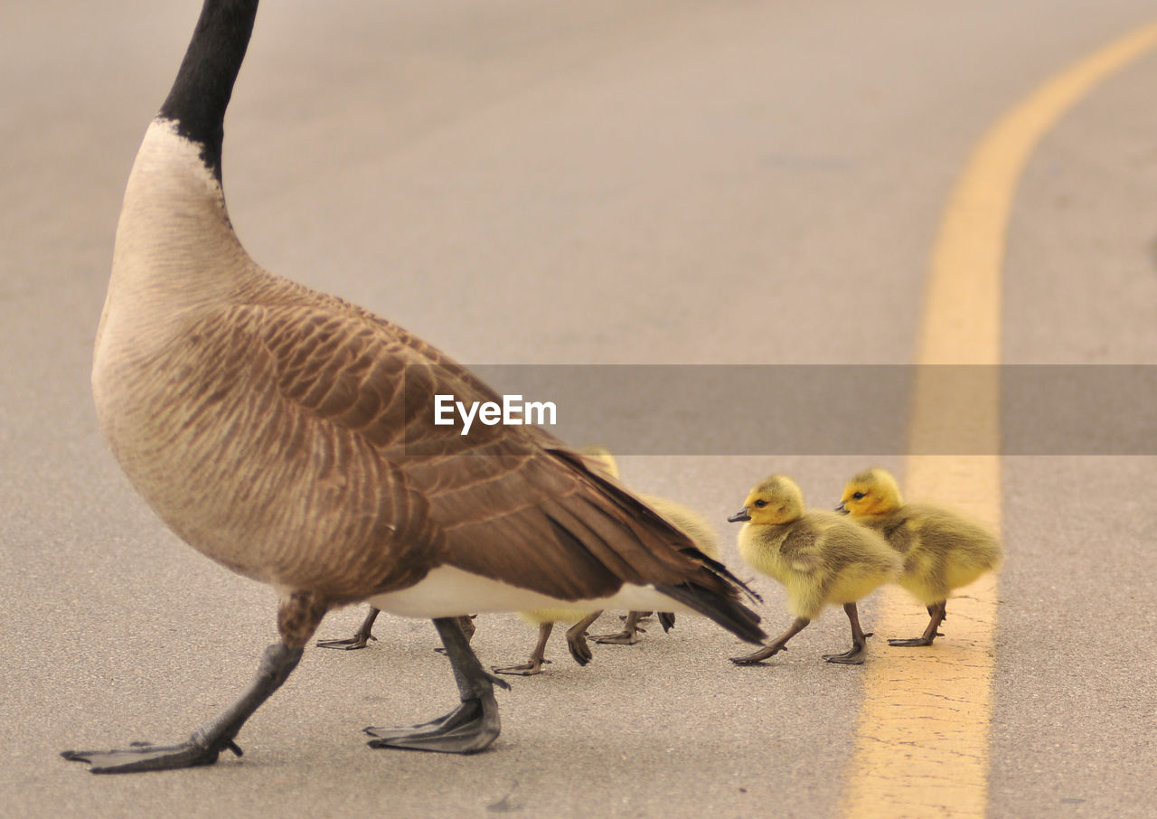 Goose With Goslings Walking On Road