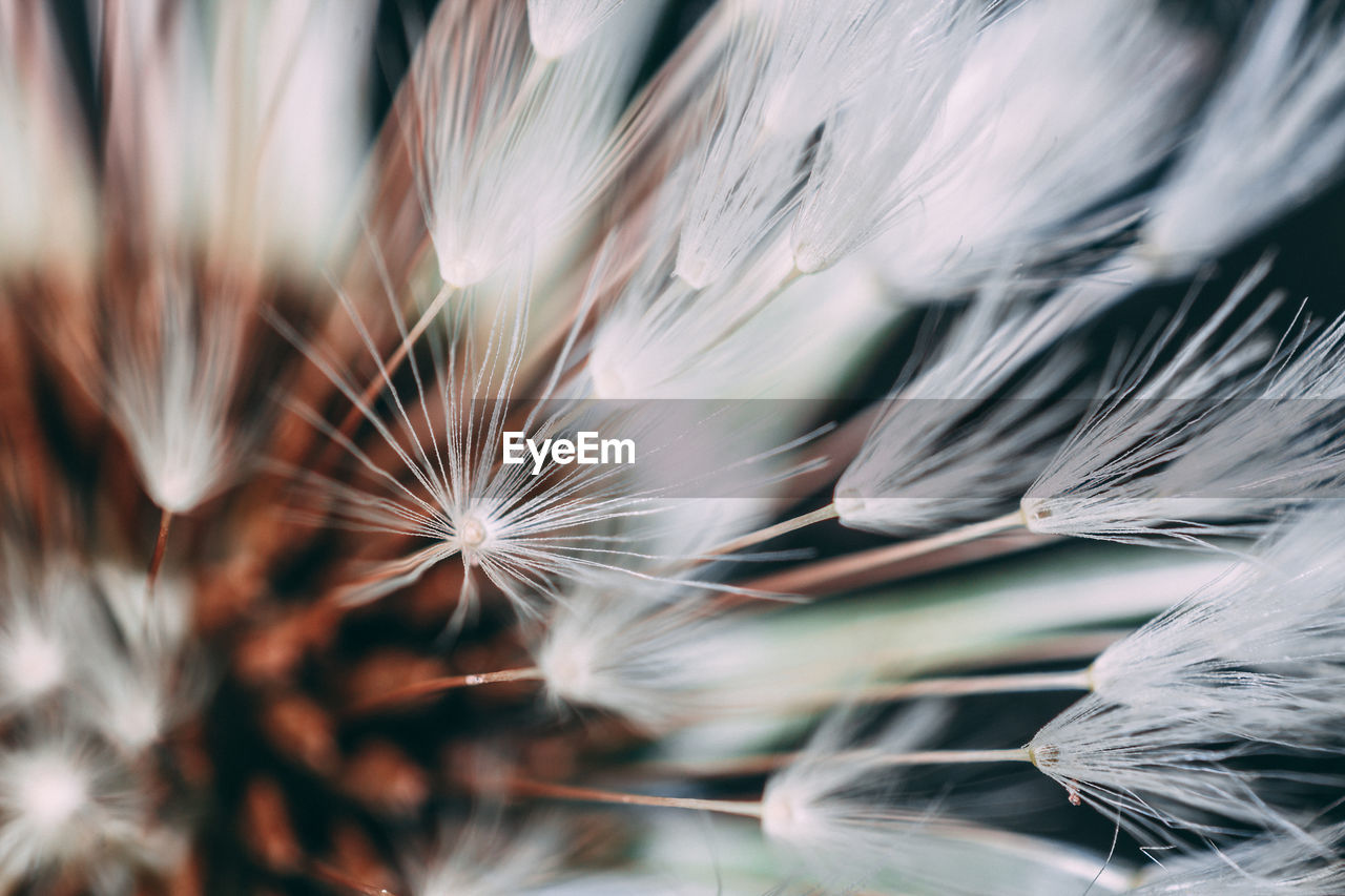 plant, close-up, fragility, selective focus, vulnerability, beauty in nature, flower, flowering plant, growth, no people, freshness, dandelion, nature, day, white color, backgrounds, full frame, softness, inflorescence, outdoors, dandelion seed, flower head, dried