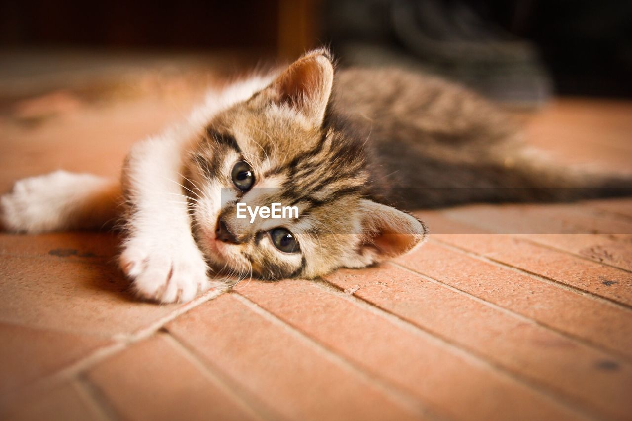 one animal, animal themes, pets, domestic animals, mammal, domestic cat, indoors, lying down, looking at camera, feline, no people, relaxation, hardwood floor, home interior, whisker, portrait, close-up, day