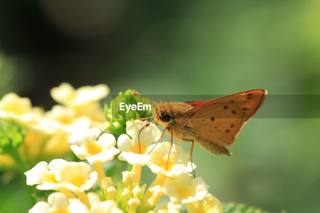 flower, flowering plant, animal, invertebrate, insect, animal wildlife, animal themes, one animal, animals in the wild, beauty in nature, fragility, vulnerability, close-up, freshness, petal, plant, animal wing, selective focus, growth, pollination, flower head, no people, outdoors, butterfly - insect, butterfly