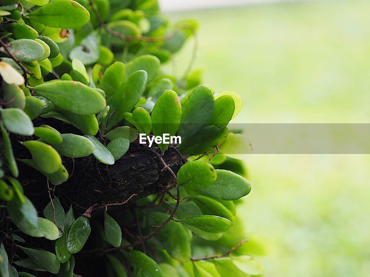 growth, green color, plant, leaf, plant part, close-up, nature, beauty in nature, no people, food and drink, day, focus on foreground, healthy eating, food, selective focus, outdoors, freshness, fruit, tree, tranquility