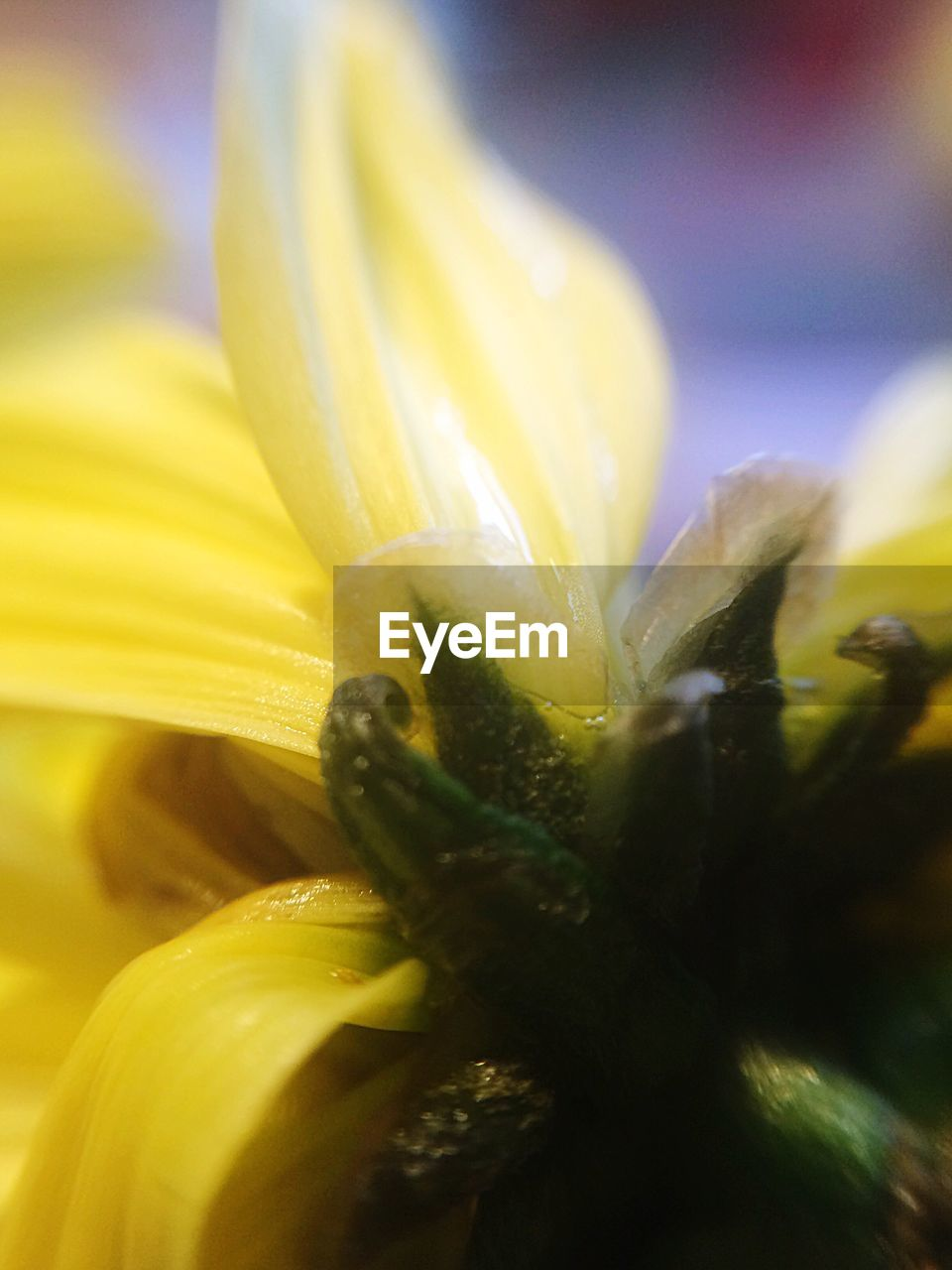 flower, freshness, close-up, yellow, selective focus, fragility, no people, nature, petal, growth, beauty in nature, flower head, wet, outdoors, day, plant, water