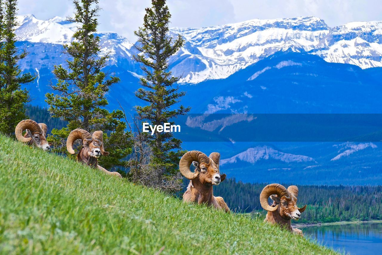 Big Horn Sheep On Field Against Mountains