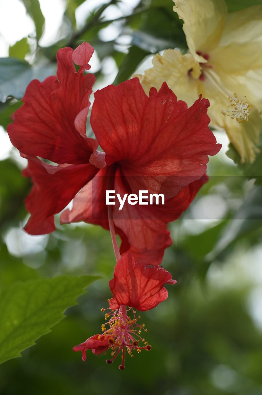 red, flower, beauty in nature, fragility, petal, hibiscus, nature, growth, outdoors, day, close-up, no people, flower head, leaf, freshness