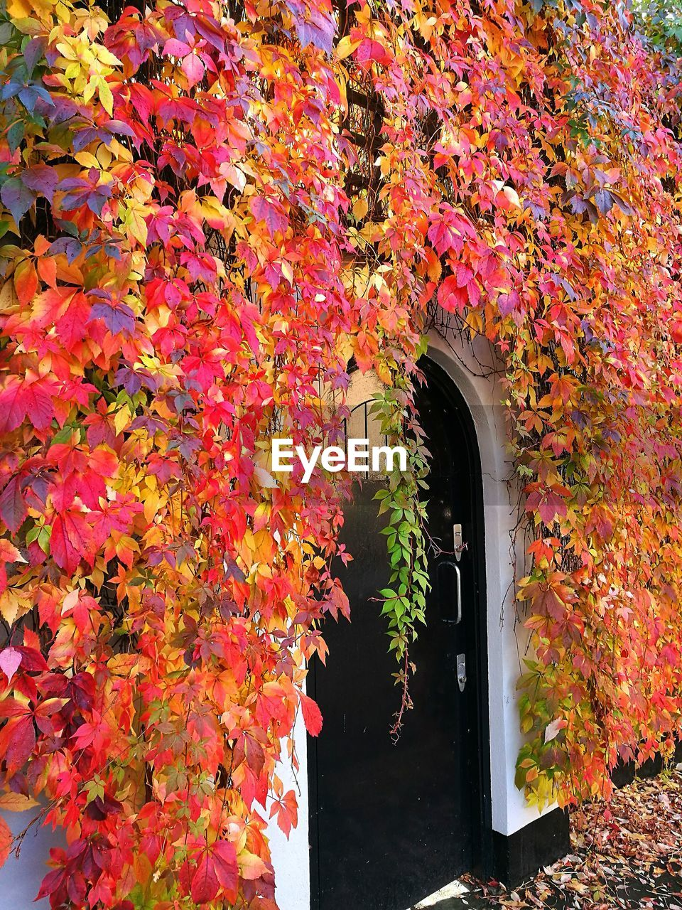 autumn, leaf, change, plant, growth, nature, maple tree, beauty in nature, day, no people, outdoors, multi colored, architecture, ivy, tree