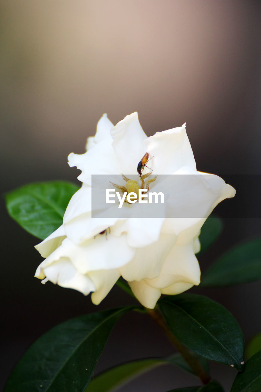 flower, petal, white color, flower head, fragility, beauty in nature, nature, close-up, growth, leaf, freshness, no people, plant, day, outdoors