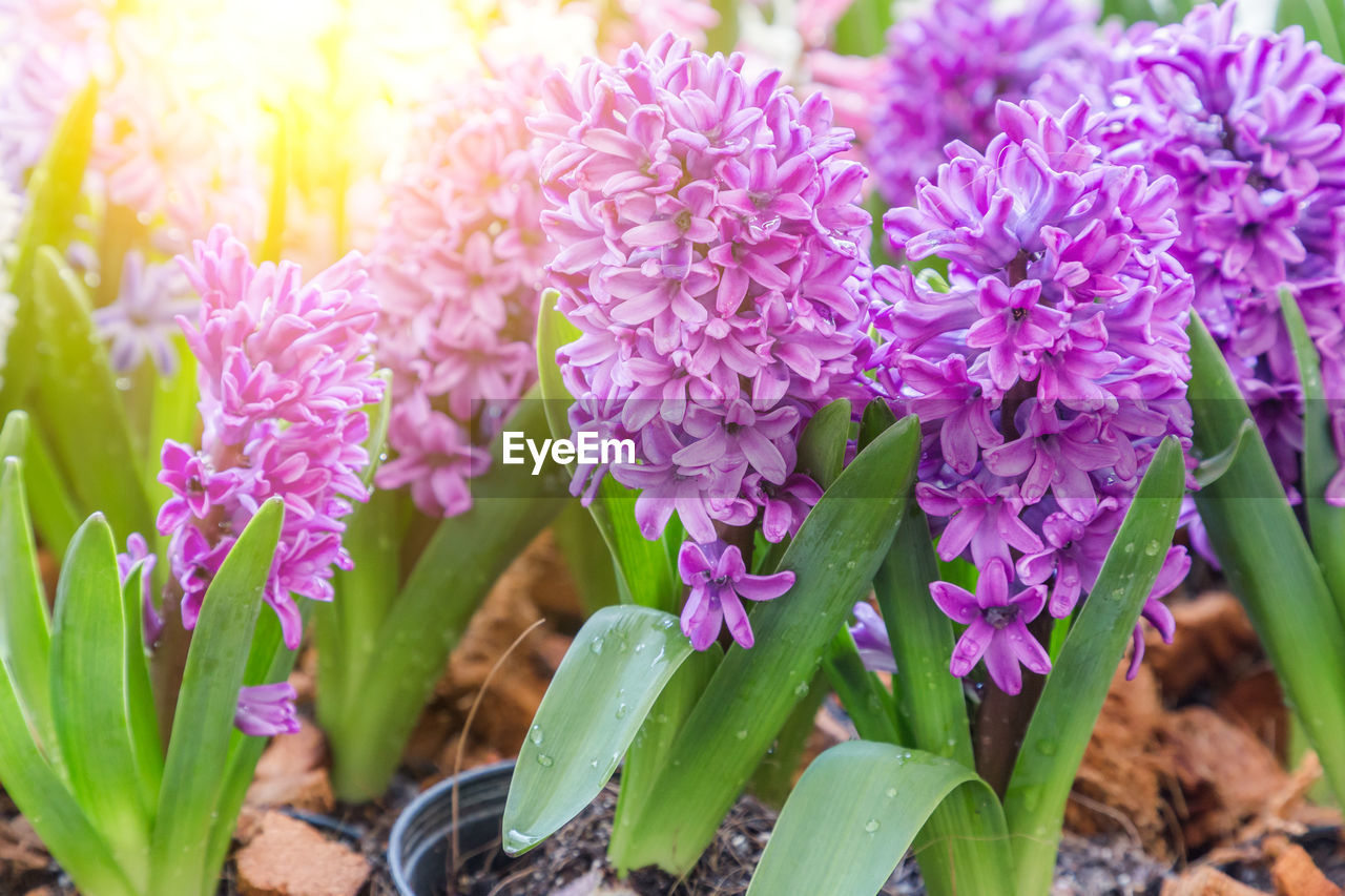 flowering plant, flower, plant, freshness, vulnerability, beauty in nature, fragility, growth, close-up, petal, purple, plant part, leaf, flower head, nature, inflorescence, pink color, day, no people, selective focus, outdoors, springtime, bunch of flowers, lilac