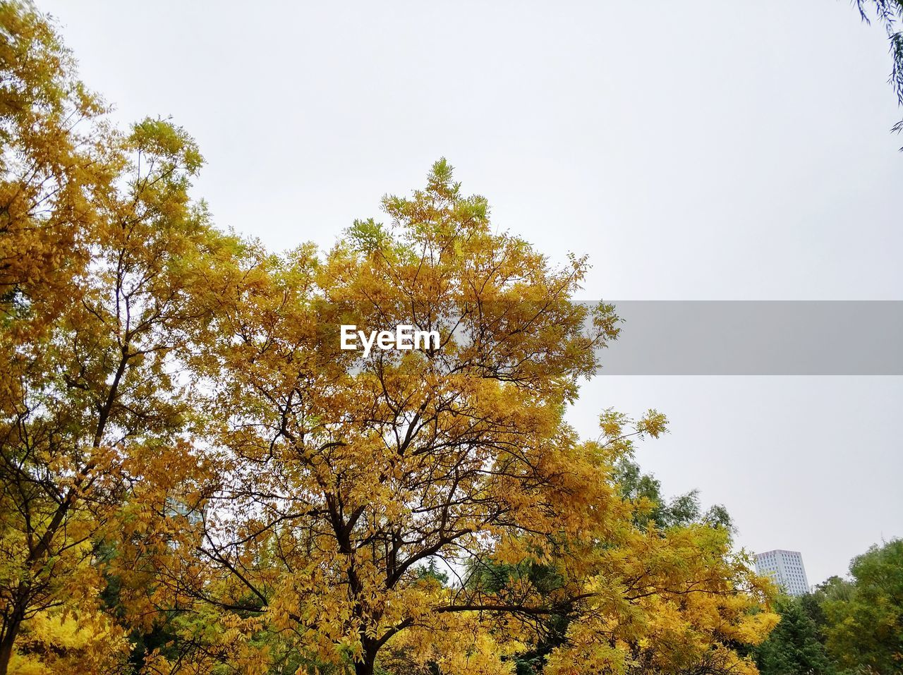 tree, nature, low angle view, autumn, growth, no people, day, beauty in nature, outdoors, tranquility, sky, branch, clear sky